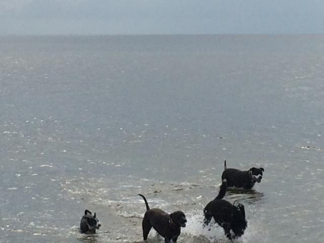 Maysea and friends at their daily beach romp at Mashes Sands beach.